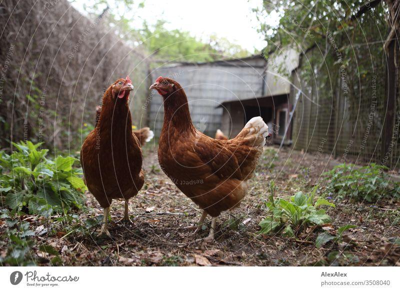 Zwei braune Hühner stehen im Hühnerauslauf und schauen verwundert in die Kamera Huhn Hühnerstall Planzen Laub Zaun Gehege Chicken bäuerlich Landwirtschaft