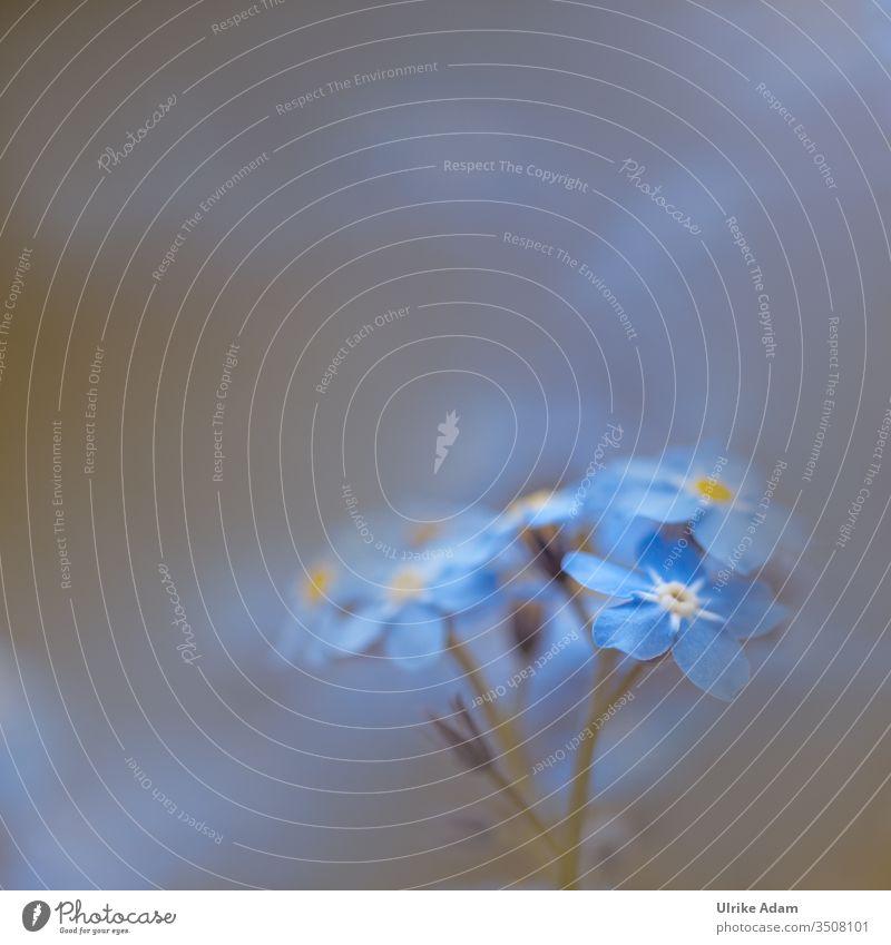 Frühling - Makro einer blauen Vergissmeinnicht Blüte Licht Textfreiraum oben Detailaufnahme Nahaufnahme Makroblüte Romantik Frühlingsgefühle Pflanze ruhig