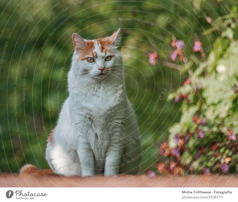 Katze auf dem Gartenweg Felis catus Hauskatze Tiergesicht Kopf Augen Ohren Nase Maul Fell Park Blumen Blüten Pflanzen Freigänger sitzen beobachten Haustier