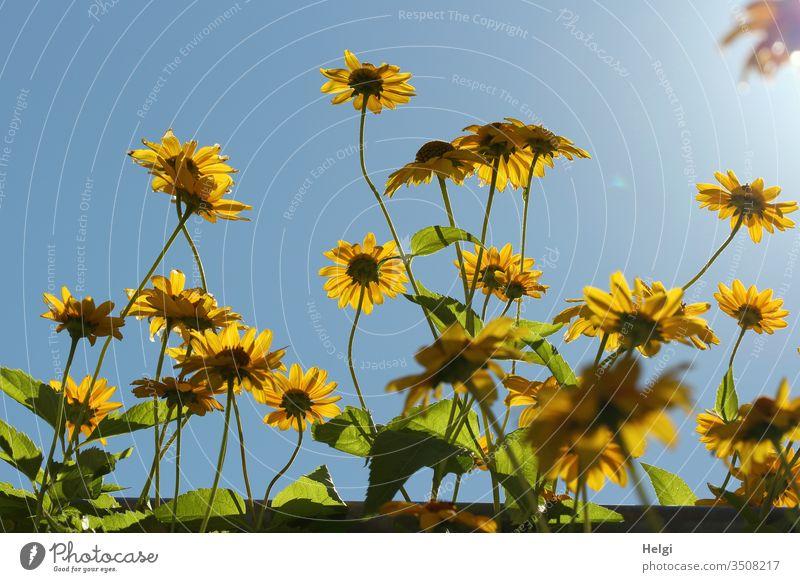 Blüten der Topinambur-Pflanze im Gegenlicht vor blauem Himmel Blume Korbblüter Sonnenblume Nutzpflanze Sprossknollen Wurzelgemüse Ernährung Natur gelb Farbfoto