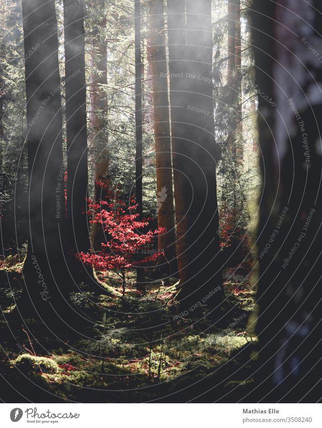 Junger Baum mit roten Blättern rotbraun blätter baum nebel licht Lichterscheinung Lichtspiel Lichteffekt Lichteinfall Lichtschein Lichtstrahl rote blätter jung