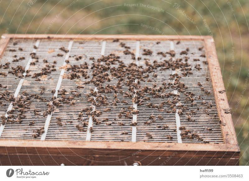 Einblick in einen offenen Bienenstock Bienenwaben Bienenzucht Bienenkorb Honig Honigbiene Imkerei imkern Wabe Insekt Natur Kolonie Sommer Lebensmittel Bauernhof