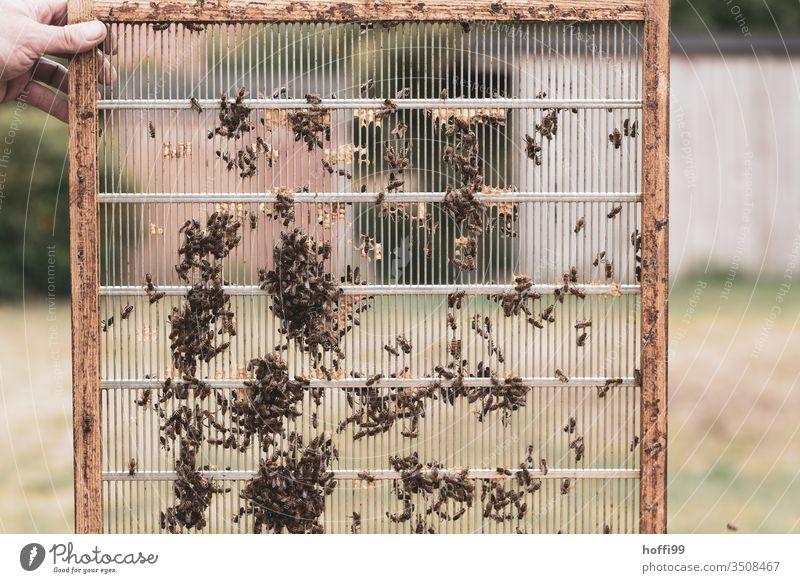 Bienenwabe im Aufbau Bienenstock Bienenwaben Bienenzucht Bienenkorb Honig Honigbiene Imkerei imkern Wabe Insekt Natur Kolonie Sommer Lebensmittel Bauernhof
