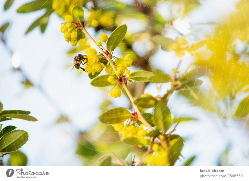 Detail einer Biene auf gelben Blüten eines Strauches mit Hintergrundbeleuchtung Blume Insekt Natur Pollen Sommer Sonne schön Detailaufnahme grün Makro Frühling