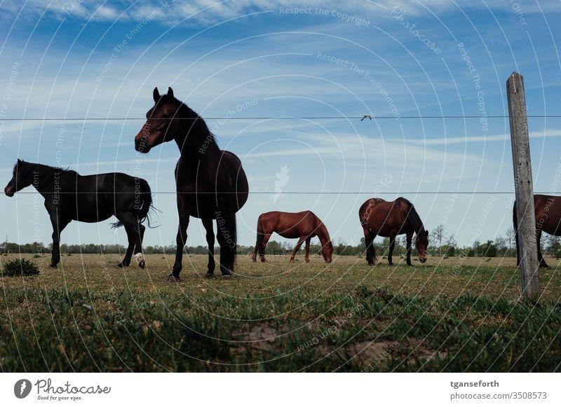 Pferde auf der Weide Pferdeweide Tier Außenaufnahme Farbfoto Tierporträt natürlich Nutztier Menschenleer Landschaft Pferdezucht Mähne stehen