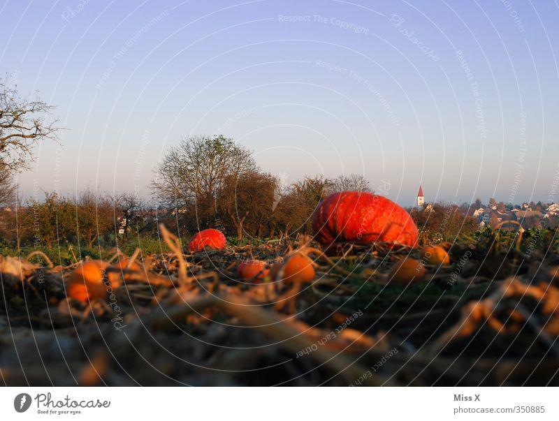 Kürbisfeld Herbst Gesundheit orange Lebensmittel Feld Wachstum frisch Ernährung Bauernhof Gemüse Ernte lecker Ackerbau herbstlich ländlich Kürbis