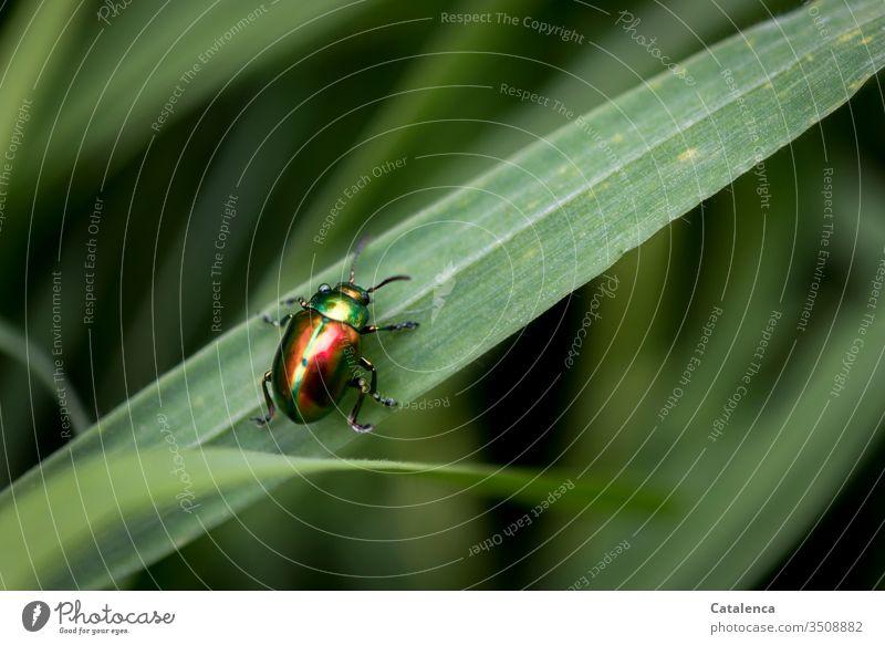 Der bunt schillernde Blattkäfer krabbelt ein Grashalm hoch Insekt Tier klein Rot Grün krabbeln Pflanze Wiese Garten Frühling