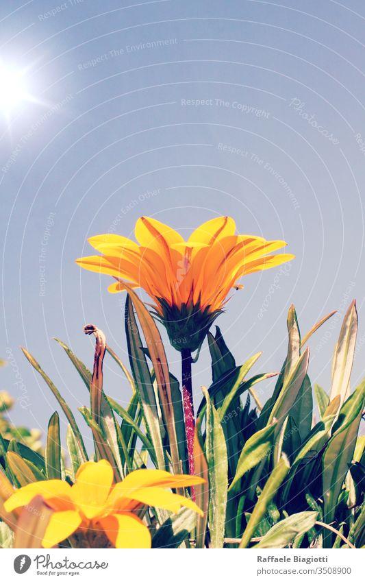 Schöne wilde gelbe Blume an einem sonnigen Tag Sonne Sommer Farbe Sonnenaufgang Licht Pflanze Blüte Landschaft blau Sonnenlicht Feld Natur geblümt Saison