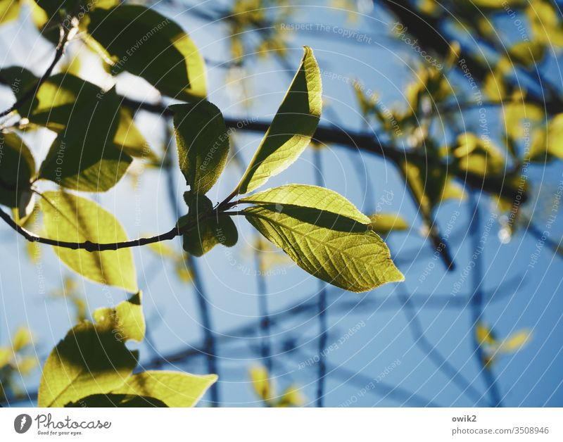 Grüner Salat Blätter Laub frün zart Himmel Wolkenloser Himmel Frühling Natur Außenaufnahme Farbfoto Pflanze Tag Menschenleer Baum Wachstum Umwelt Schönes Wetter