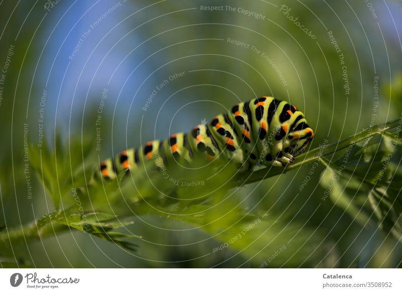 Die Raupe eines Schwalbenschwanz krabbelt ein Möhrenblatt entlang Insekt Schmetterling Pflanze Blatt Gemüse Sommer Makroaufnahme Natur schwarz grün krabbeln