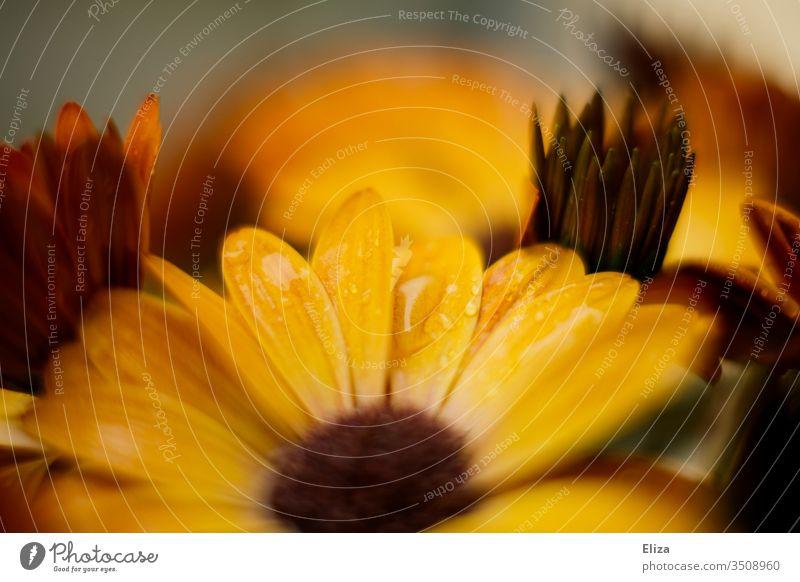 Gelbes Kapkörbchen mit Wassertropfen. Osteospermum ecklonis. kapmargerite orange Blumen Blüten schön gelb Blühend nah Tropfen nass Regen floral warm Pflanze