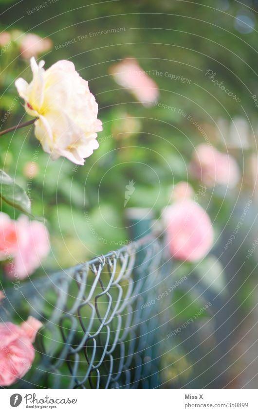 Rosen Garten Sommer Blume Blüte Blühend Duft Wachstum Rosenblätter Rosengarten Zaun Metallzaun rosa Farbfoto mehrfarbig Außenaufnahme Menschenleer
