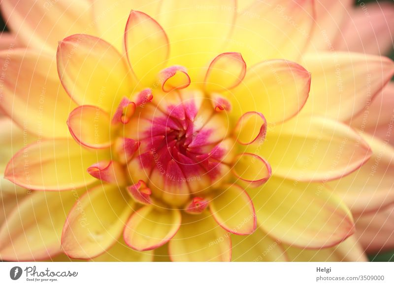 Zentrum einer gelb-roten Dahlienblüte Blume Blüte Pflanze Makroaufnahme Detailaufnahme Farbfoto Nahaufnahme Blütenblatt Sommer Garten blühen Mitte rosa pink