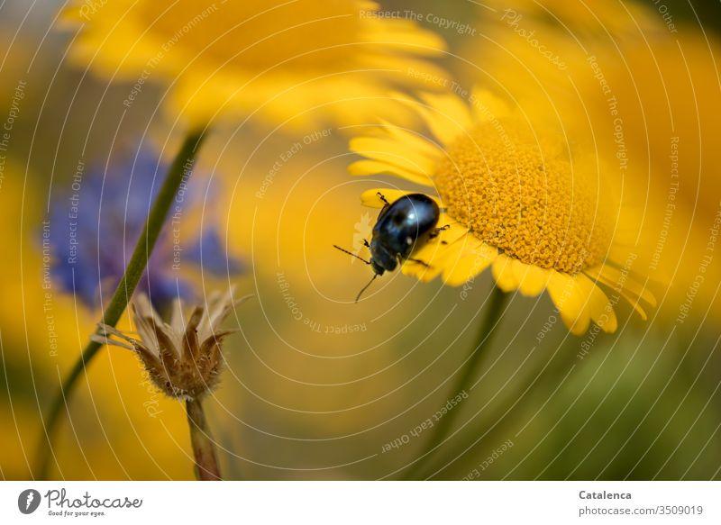 Auf der gelben Wiesenblume krabbelt ein blauer Blattschneiderkäfer Käfer Insekt Tier Pflanze Fauna Flora Sommer Gelb krabbeln Blütenblätter Glebionis segetum