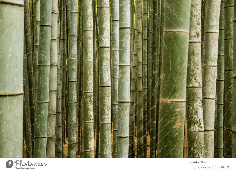 Bambuswald in Nahaufnahme Grün Japan Wald Asien Bambusrohr Hintergrund