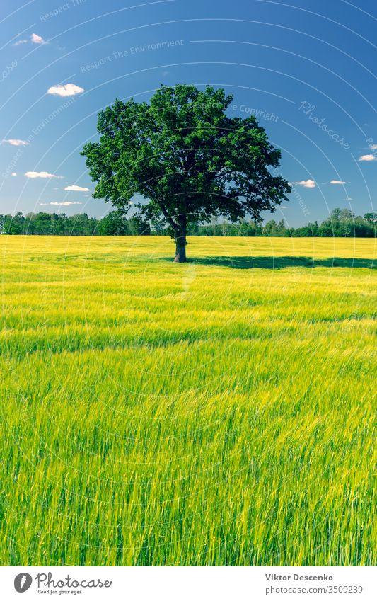 Die Eiche steht im Sommer auf einer grünen Wiese Blume Hintergrund Baum Natur Blatt Feld Landschaft Gras Himmel natürlich alt Saison Umwelt ländlich groß