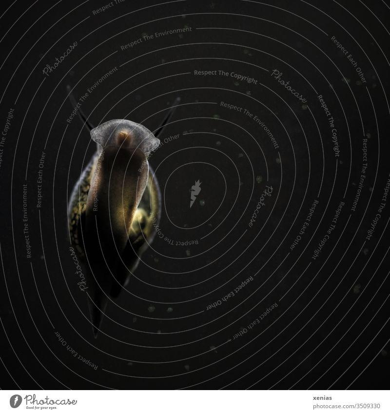 der Fuß einer Wasserschnecke im Aquarium vor dunklem Hintergrund Schnecke Blasenschnecke Tier Mundöffnung Gehäuse Schneckenhaus Fühler moody dunkel schwarz