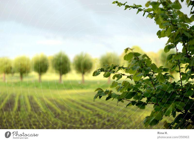 In Reih und Glied Landwirtschaft Forstwirtschaft Umwelt Natur Landschaft Himmel Frühling Sommer Schönes Wetter Baum Feld hell grün Landleben Reihe Farbfoto
