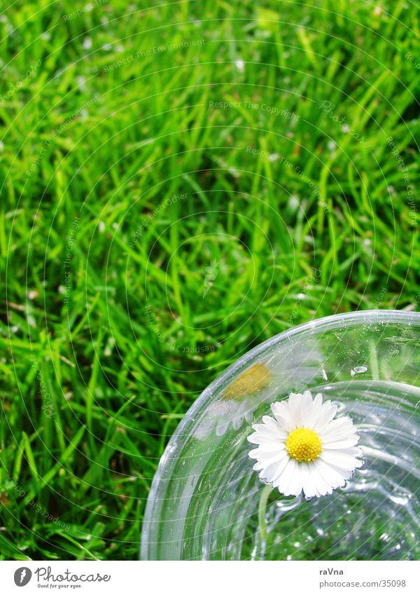 Lebenselixier Natur Wasser grün Pflanze Gras Glas frisch Rasen Gänseblümchen Wasserglas