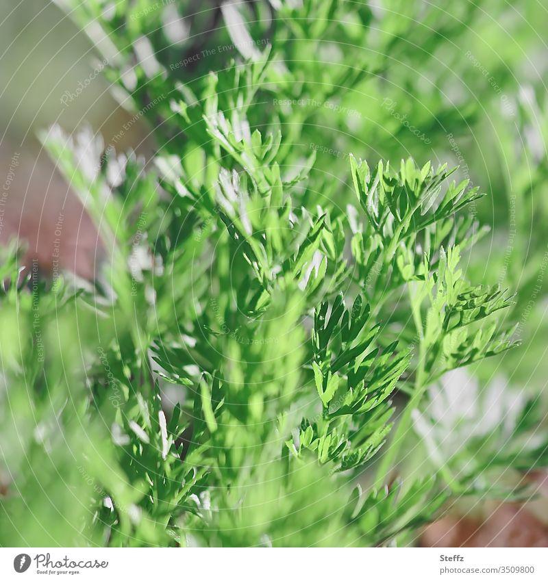 junges Gemüse Karotten Möhre Lebensmittel Suppengrün Karottenblätter Bioprodukte Jungpflanze Karottenkraut wachsen Vegane Ernährung Vegetarische Ernährung
