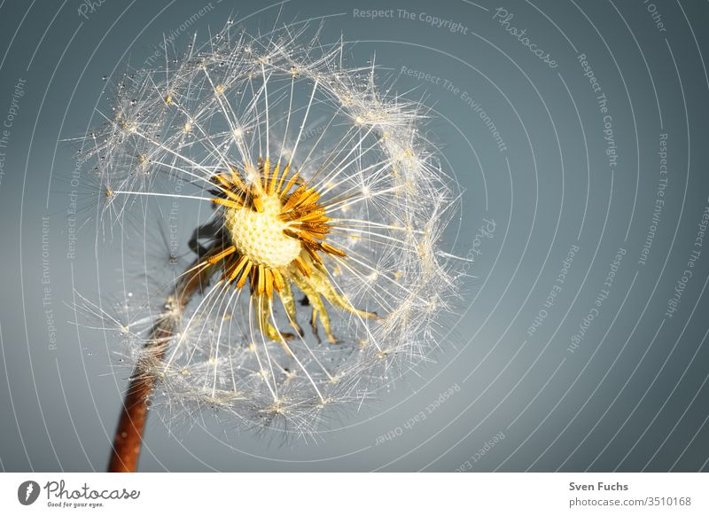 Eine Pusteblume mit Wassertropfen vor einem blaugrauen Hintergrund Löwenzahn leicht luftig fliegend Sommer Wind Wachstum Veränderung Freiheit Pflanze Blume