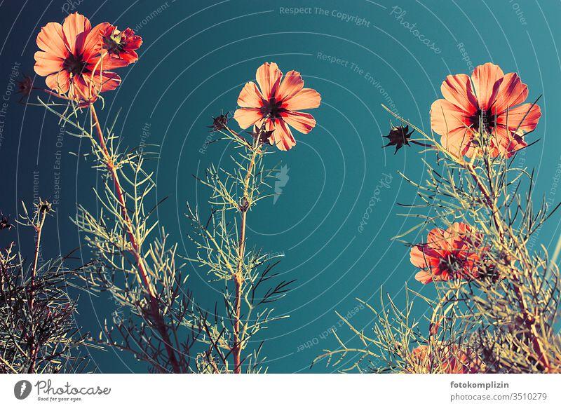 cosmea blüten von unten Cosmeablüte Blumen Blütenpflanze Blütenblätter Blühend Sommerblumen wachsen Blütezeit Sommerblüher Nahaufnahme duftig blumig leicht