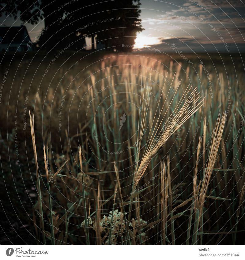 Eine Frage der Ähre Himmel Natur Pflanze Baum Landschaft ruhig Wolken Ferne Umwelt Wärme Horizont Zusammensein Feld glänzend Idylle leuchten