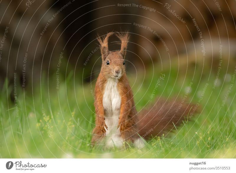Eichhörnchen im Gras sitzend Tier Farbfoto Natur Außenaufnahme Wildtier Menschenleer Tag Tierporträt Umwelt Schwache Tiefenschärfe braun niedlich grün Nagetiere