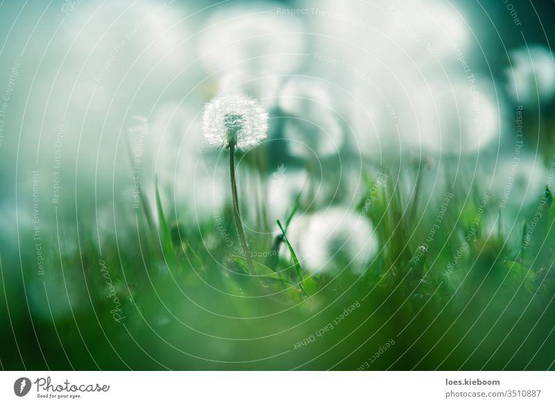 Nahaufnahme eines Gartens mit einem fokussierten und verschwommenen, von der Sonne beleuchteten Löwenzahn Blüte Flora Blume Natur Pflanze Saison Kindheit Sommer
