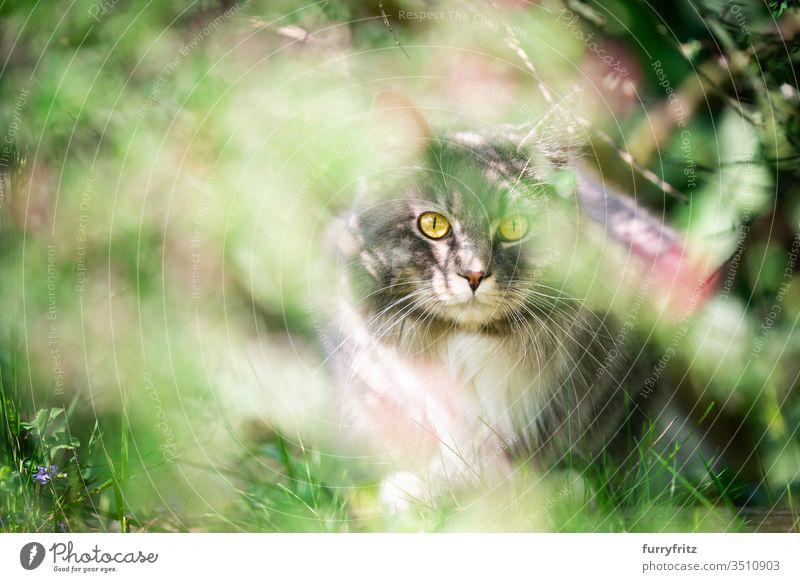 Katze versteckt sich im Busch und guckt in die Kamera Haustiere Rassekatze Langhaarige Katze Maine Coon weiß blau gestromt katzenhaft fluffig Fell im Freien