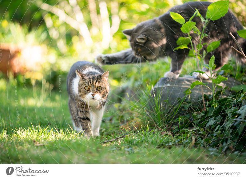 verspielte Katzen im Garten Haustiere Rassekatze Langhaarige Katze Maine Coon Britisch Kurzhaar Tabby weiß blau gestromt katzenhaft fluffig Fell im Freien Natur