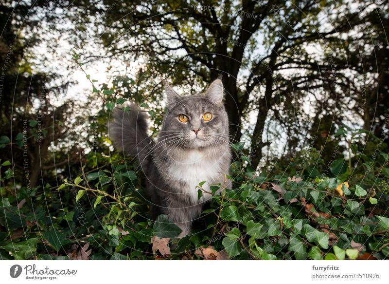 Maine Coon Katze in der Natur Haustiere Rassekatze Langhaarige Katze weiß blau gestromt katzenhaft fluffig Fell im Freien Botanik Pflanzen grün