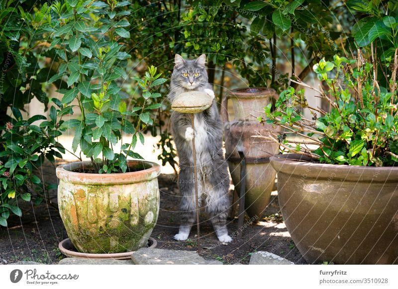 süße Maine Coon Katze im Garten macht Männchen Haustiere Rassekatze Langhaarige Katze weiß blau gestromt katzenhaft fluffig Fell im Freien Natur Botanik