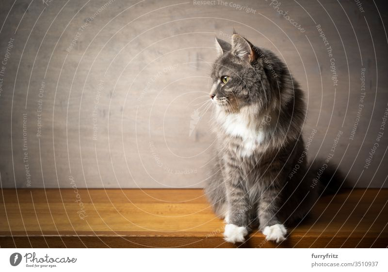 Porträt einer Maine Coon Katze auf einer Holzfläche vor grauem Holz Hintergrund Haustiere Rassekatze Langhaarige Katze weiß blau gestromt katzenhaft fluffig
