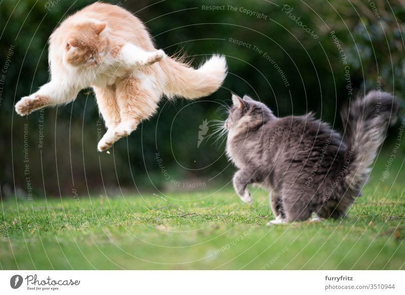 lustige verspielte Katzen springen im Garten Haustiere Rassekatze Langhaarige Katze Maine Coon weiß blau gestromt cremefarben Tabby Hirschkalb beige