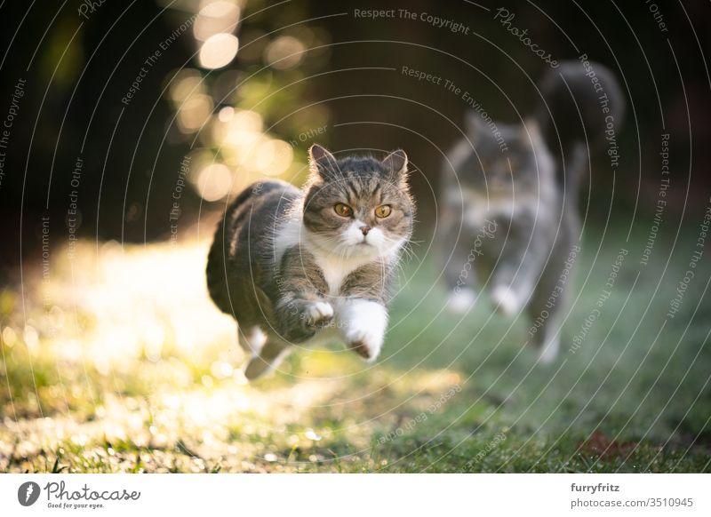 Katzen rennen durch den sonnigen Garten und jagen sich hinterher Haustiere Rassekatze Langhaarige Katze Maine Coon Britisch Kurzhaar Tabby weiß blau gestromt