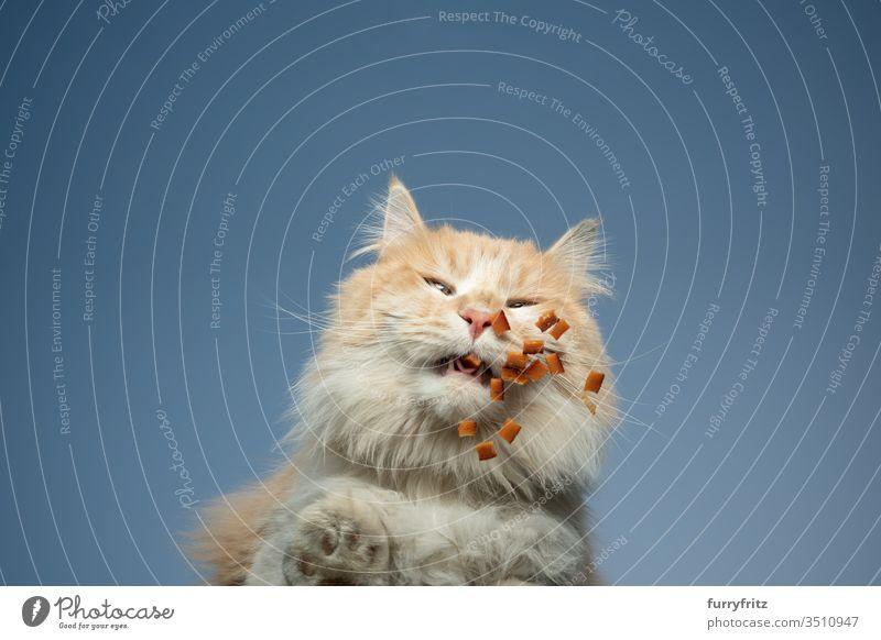 untersicht einer maine coon katze, die Trockenfutter frisst Katze Haustiere Rassekatze Langhaarige Katze Maine Coon weiß cremefarben Tabby Hirschkalb beige