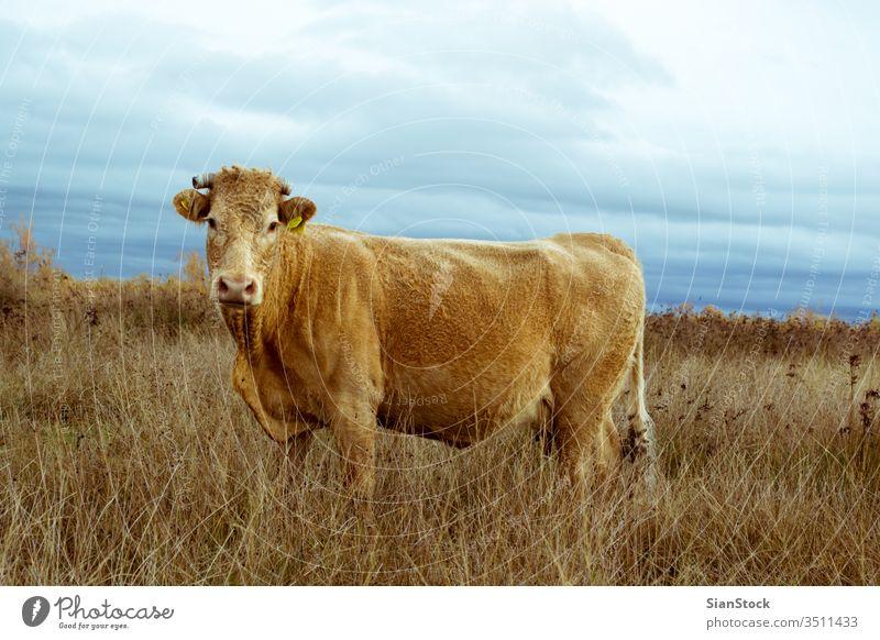 Einsame Kuh auf einem Feld im Delta des Flusses Evros Griechenland angus Rind Ackerbau Gras Weidenutzung blau ländlich Wiese einsam Himmel Natur Canterbury