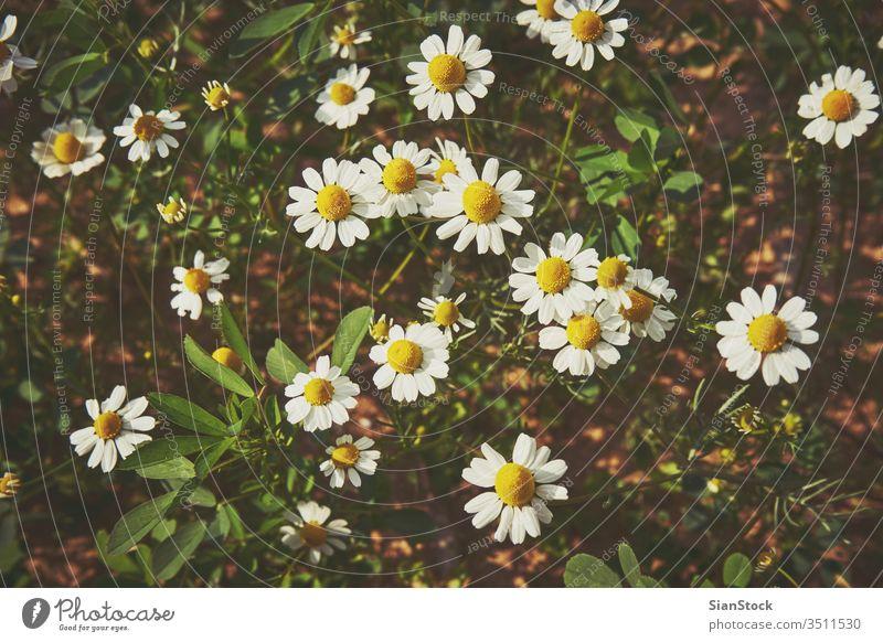 Gänseblümchen auf dem Feld Margeriten weiß Blume Blumen Hintergrund Frühling schön Natur Wiese Kamille grün Sommer gelb Pflanze Sonne Schönheit Echte Kamille