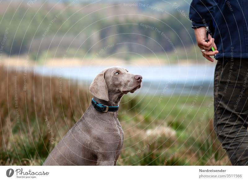 Weimaraner Welpe während der Ausbildung weimaraner welpe hund mensch person haustier hübsch jagdhund portrait spaß gras spaziergang see wasser reinrassig