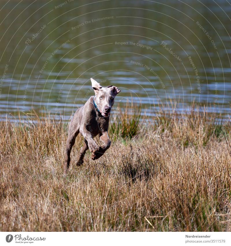 Weimaraner Welpe spielt und tobt auf einer Wiese am See weimaraner welpe hund haustier junghund wasser hübsch jagdhund portrait reinrassig wald gras freudig