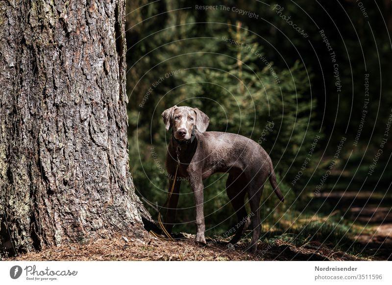 Weimaraner Welpe erkundet den Wald weimaraner welpe hund haustier junghund hübsch jagdhund portrait reinrassig wald hundeportrait freudig säugetier baumstamm