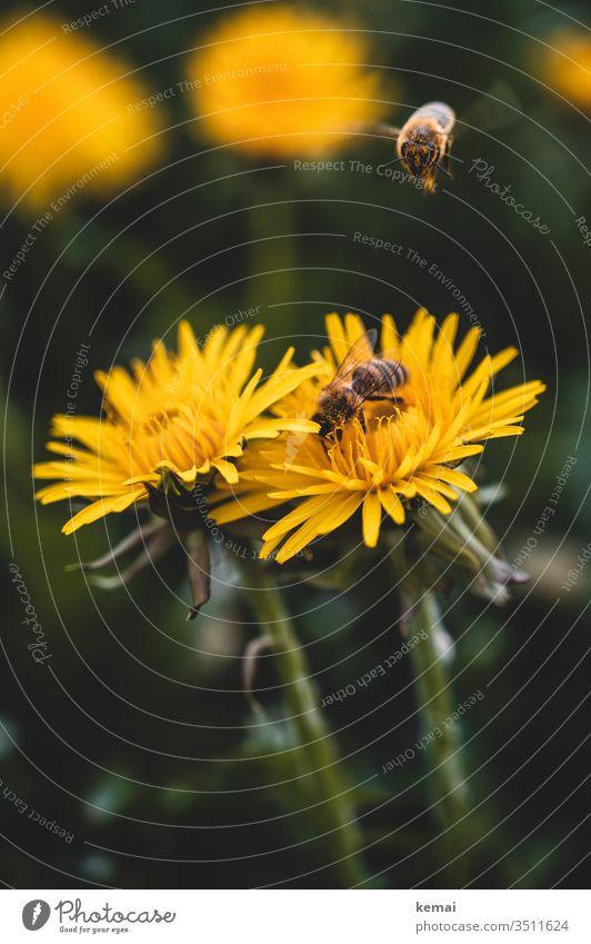 Bienen auf Löwenzahn-Blüte Blume Frühling gelb sitzen Nahaufnahme Makroaufnahme Ganzkörper Insekt Tier Wildtier bestäuben grün fliegen Anflug besetzt warten