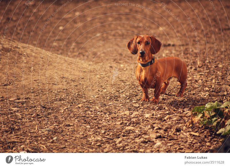 Brauner Kurzhaardackel Hund Dackel braun Hof rindenmulch Tier Tierliebe Außenaufnahme niedlich Tiergesicht Farbfoto