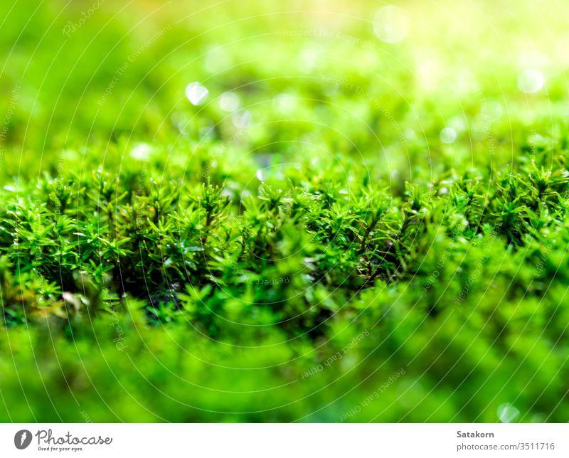 Frisches grünes Moos, das auf dem Boden mit Wassertropfen im Sonnenlicht wächst Tau Natur frisch Makro Garten Wald Tropfen nass Algen üppig (Wuchs) Schönheit