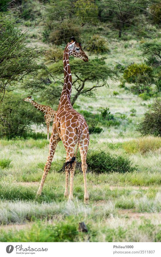Giraffe überquert den Pfad im Samburu Park Afrika Kenia Afrikanisch Tier Hintergrund schön braun Nahaufnahme niedlich Gesicht grün Kopf Pflanzenfresser