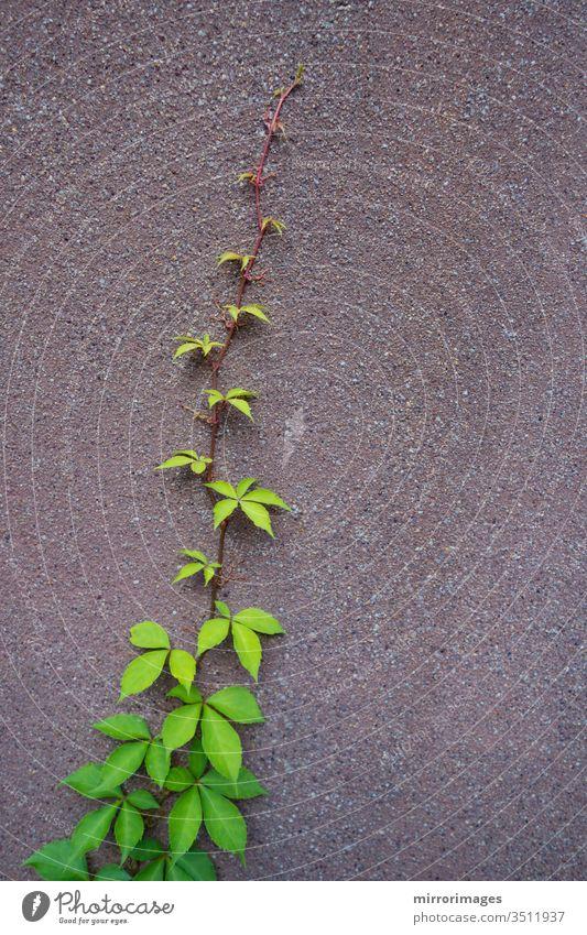 eine Viy-Rebe, die an der Seite einer Zementmauer wächst abstrakt Herbst Hintergrund schön Ast Farbe Umwelt fallen Laubwerk Garten grün Wachstum Blatt natürlich