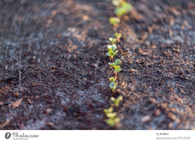Detailaufnahme von Jungpflanzen Acker Ackerboden Arbeit Boden Erde Essen Freude Frühjahr Garten Gartenarbeit Macro Makro Nahaufnahme Nahrung Natur Pflanzen