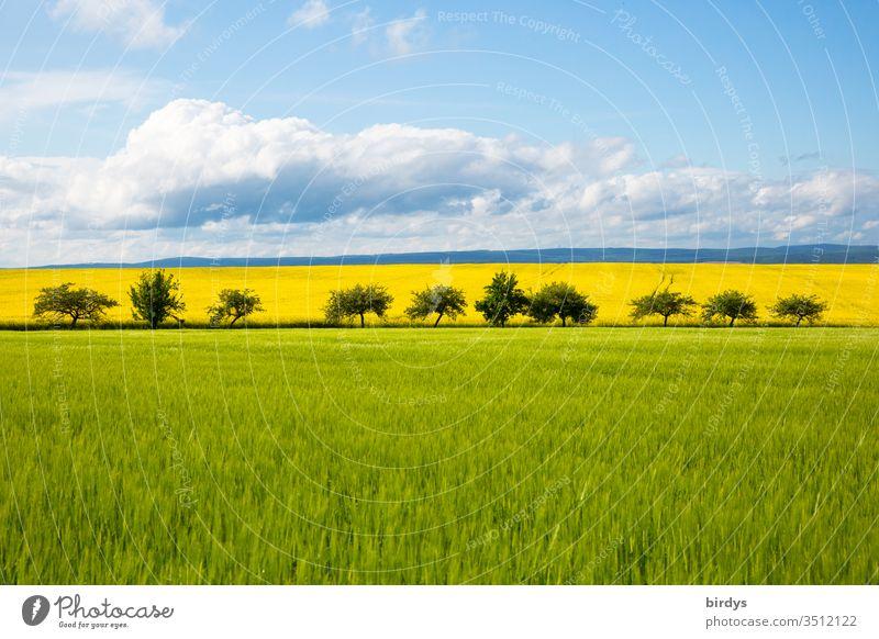 bunte Agrarlandschaft im Mai mit grünem Getreidefeld und gelb blühenden Rapsfeld hinter einer Reihe Obstbäume. Horizont mit blauem Himmel und Wolken