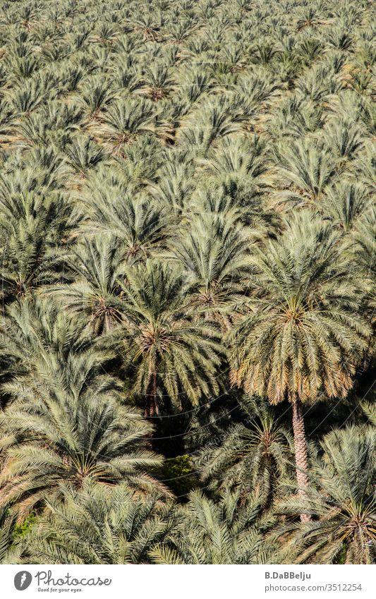 unendlich viele Palmen Oman Reisen Dattelpalme Ferien & Urlaub & Reisen Außenaufnahme Tag Menschenleer Natur grün Pflanzen Oase exotisch Farbfoto Palmenwedel